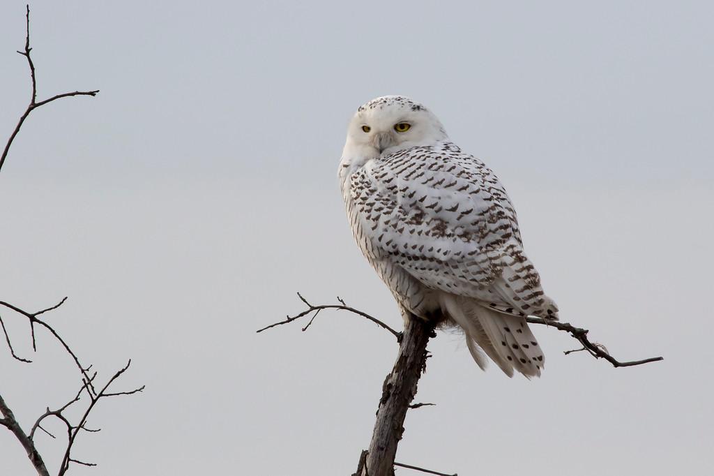Crex snowy owl 30 (10-2015)
