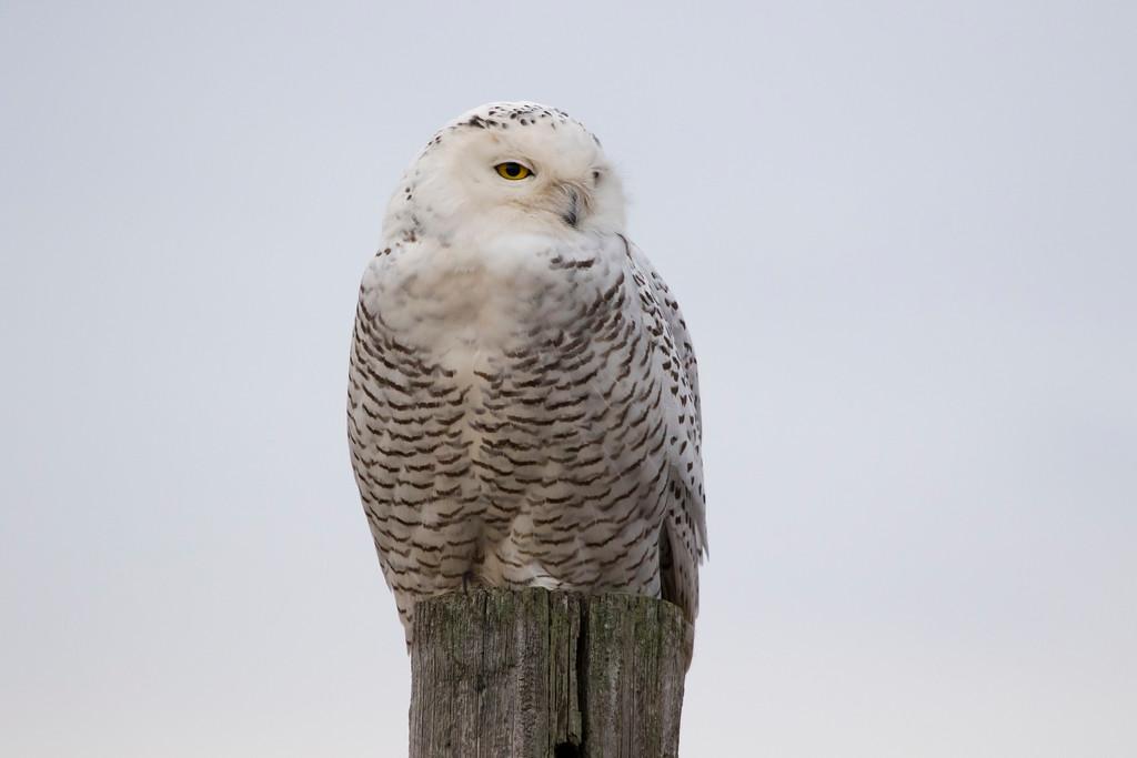 Crex snowy owl 13 (10-2015)