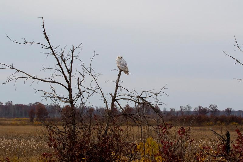 Crex snowy owl 29 (10-2015)