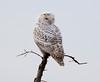 Crex snowy owl 27 (10-2015)