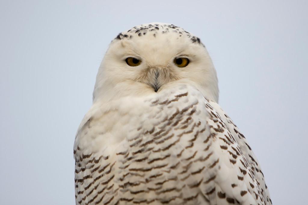Crex snowy owl 24 (10-2015)