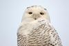 Crex snowy owl 23 (10-2015)
