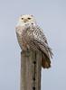 Crex snowy owl 20 (10-2015)