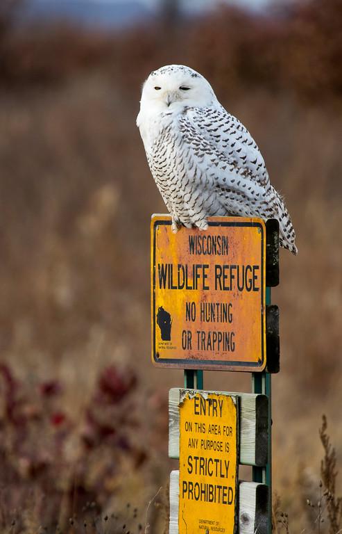 Crex snowy owl 31 (10-2015)