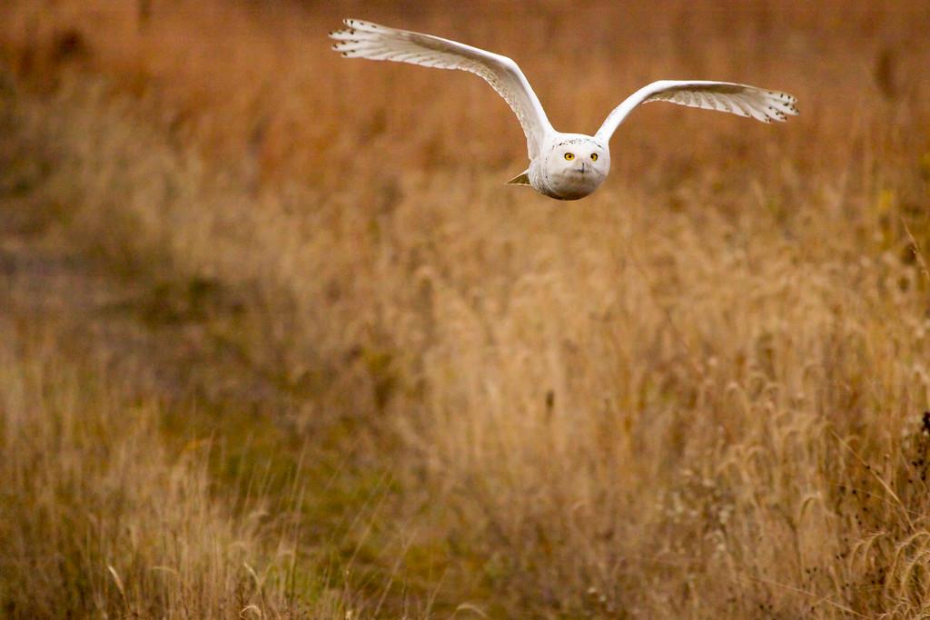 Crex snowy owl 6 (10-2015)