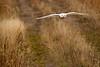 Crex snowy owl 5 (10-2015)