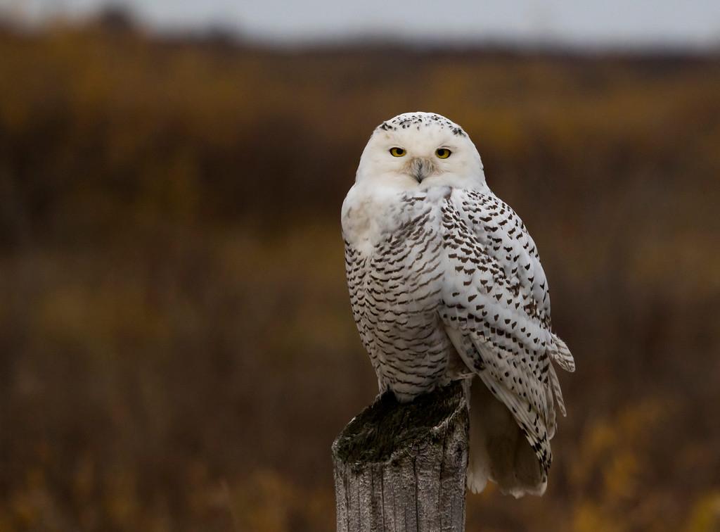 Crex snowy owl 19 (10-2015)