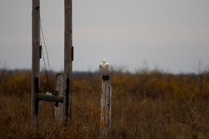 Crex snowy owl 16 (10-2015)