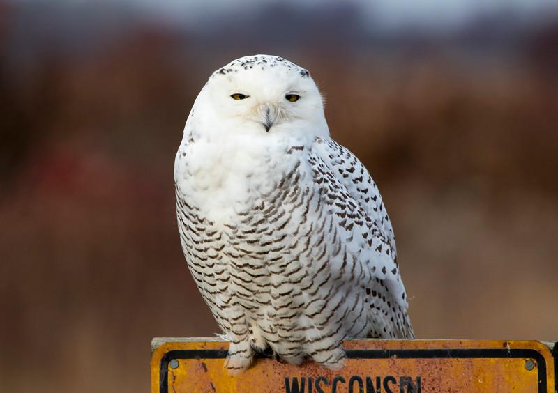 Crex snowy owl 33 (10-2015)