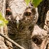 Screech Owl owlets, Five Rivers, Delmar NY, 5-18-19