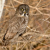 Great Gray Owl (Massena, NY 2/2017)