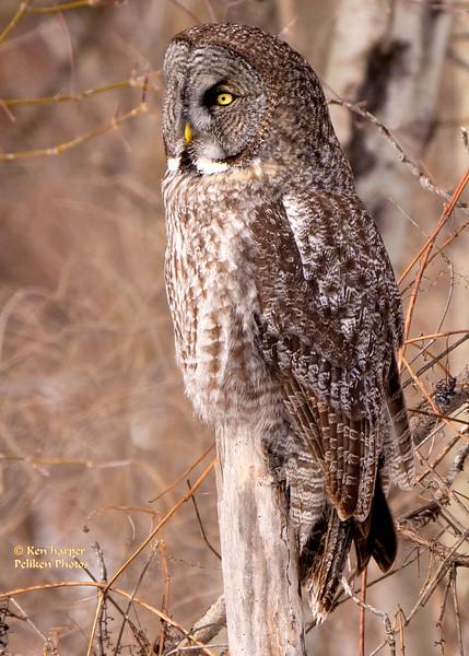 Great Gray Owl (Massena, NY 2/2017)