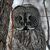 Great Grey Owl, Montreal, CA