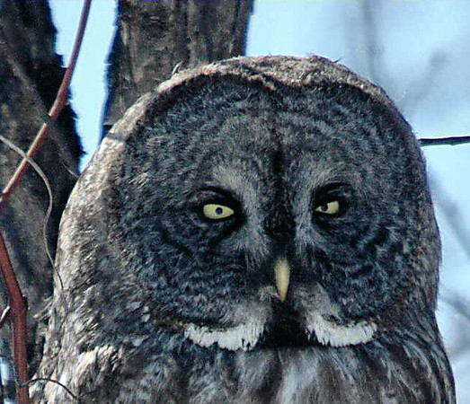 Great Grey Owl, Montreal, CA