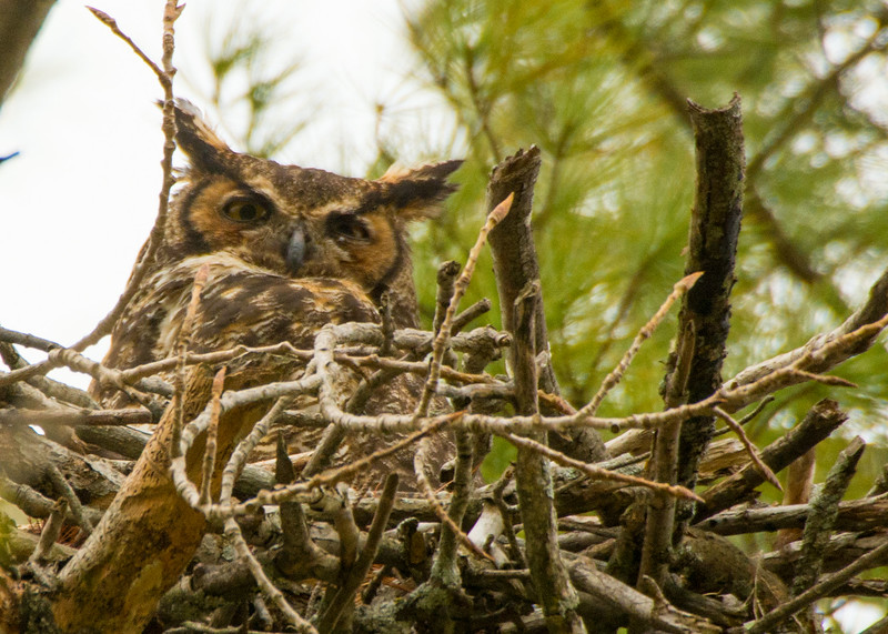 Great Horned Owl, Ft. Miller, NY May 2017