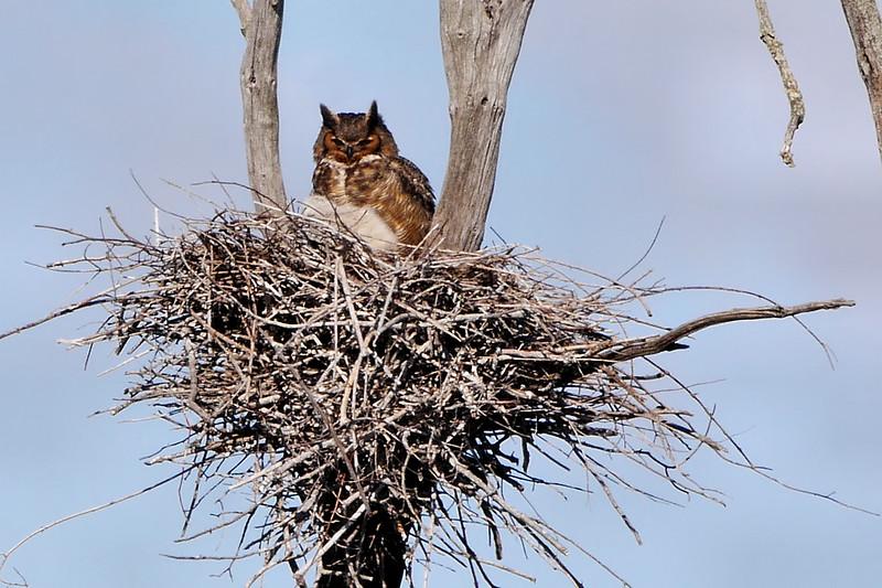 Great Horned Owl at Ballston Crek Rookery, 4-9-16