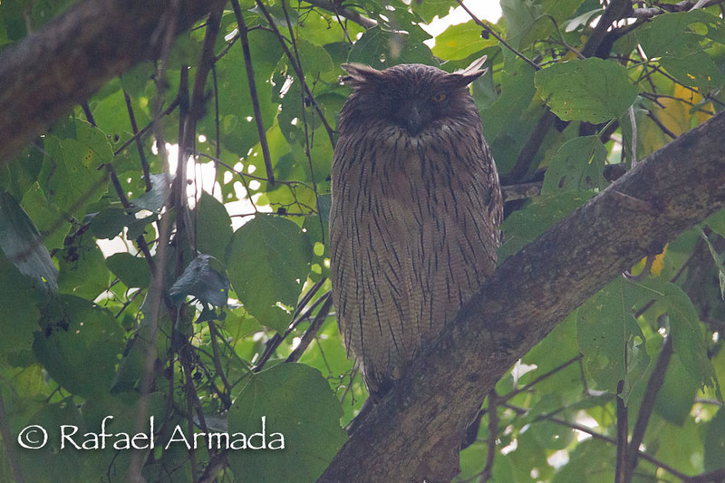 Brown Fish Owl (Ketupa zeylonensis). Corbett NP (India), november 2010