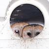 Barn Owl (Tyto alba) chicks in nest box, Bear Island WMA, Green Pond SC