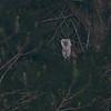 Barn Owl (Tyto alba) Bear Island WMA, Green Pond SC
