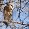Barn Owl (Tyto alba) at communal roost, Whitewater Draw, AZ