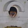 Barn Owl (Tyto alba) chicks in nest box, Bear Island WMA, Green Pond SC