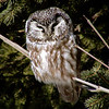Boreal Owl (Aegolius funereus) Duluth MN