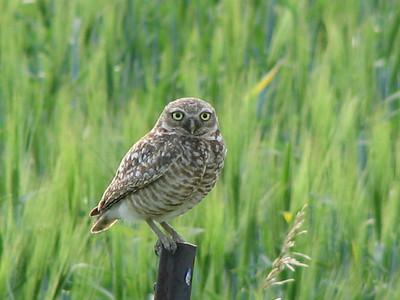 Burrowing Owl (Athene cunnicularia)