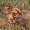 Burrowing Owl (Athene cunicularia) chick stretching, New Salem ND