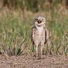 Burrowing Owl (Athene cunnicularia) New Salem, ND