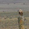 Burrowing Owl (Athene cunicularia) Tres Piedras NM