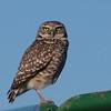 Burrowing Owl (Athene cunicularia) Gilbert AZ
