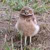 Burrowing Owl (Athene cunnicularia) chick, New Salem, ND