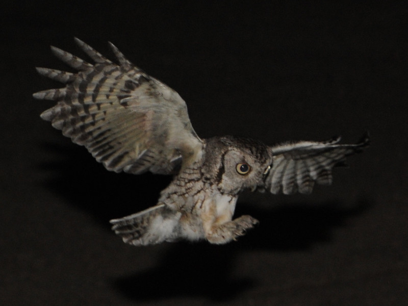 Eastern Screech Owl (Megascops asio) coming in on mouse, Bismarck ND
