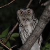 Eastern Screech-Owl (Otus asio)  Bismarck, ND