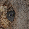 Eastern Screech Owl (Megascops asio) chick in nest hole, Bismarck ND