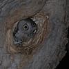 Eastern Screech-Owl (Otus asio) adult female in nest hole, Bismarck, ND