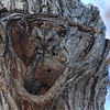 Eastern Screech-Owl (Otus asio) adult male at day roost, Bismarck, ND