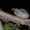 Eastern Screech Owl (Megascops asio) freshly fledged chick eating, Bismarck ND