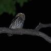 Elf Owl (Microathene whitneyi) Ladder Ranch, Hillsboro NM