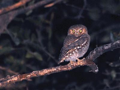 Elf Owl (Microathene whitneyii)