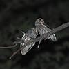 Elf Owl (Microathene whitneyi) allopreening, Ladder Ranch, Hillsboro NM