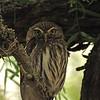 Ferruginous Pygmy-Owl (Glaucidium brasilianum) San Miguelito Ranch (Kenedy County) Raymondsville TX