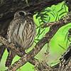 Ferruginous Pygmy-Owl (Glaucidium brasilianum) San Miguelito Ranch, Kennedy county, TX