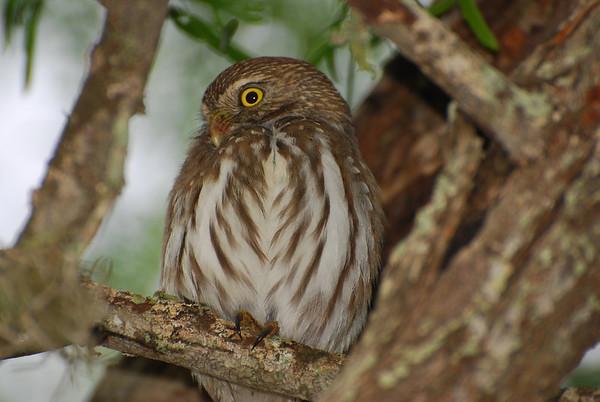 Ferrruginous Pygmy-Owl (Glaucideum brasilianum)