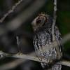 Flammulated Owl (Otus flammeolus) Taylor Mountain Road below Leidy Peak,  near Vernal UT