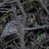 Flammulated Owl (Otus flammeolus) Ladder Ranch, Truth or Consequences NM