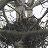 Great Gray Owl (Strix nebulosa) chicks on nest, Wasagaming, MB, Canada