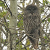Great Gray Owl (Strix nebulosa) Wasagaming, MB, Canada