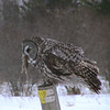 Great Gray Owl (Strix nebulosa)  St. Louis County, MN