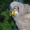May 19, 2009, eating a road kill Yellow Warbler.